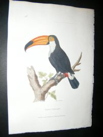 Shaw C1800's Antique Hand Col Bird Print. Toco Toucan